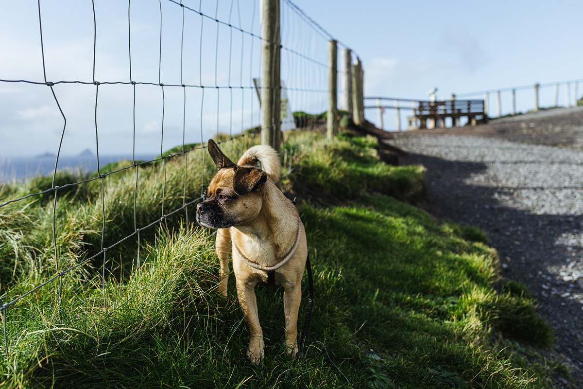 Kerry Cliffs Dog Hund Irland 006